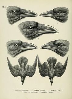 c 1.v.4 - A history of the birds of Europe : - Biodiversity Heritage Library: