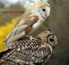 The barn owl hopped on the back of the Bengal Eagle Owl and was reluctant to come off! By Miles Collins via owl city.