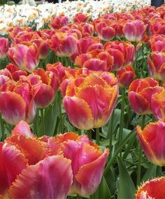 """TULIP SUNSET MIAMI      5 / 8    This flamboyant sizzler has large, iridescent pink-magenta flowers with a feathered ivory base, apricot-cherry petal edges, golden fringe and stems like small tree trunks. Bulb size: 12 cm/up. May. 16"""" to 18"""". HZ: 3-7."""