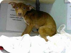 Atlanta, GA - Labrador Retriever Mix. Meet LAVENDER, a puppy for adoption. http://www.adoptapet.com/pet/16577863-atlanta-georgia-labrador-retriever-mix