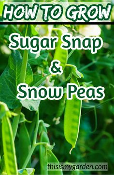garden care tips Sugar snap and snow peas are a delicious and simple crop to grow in the garden. And they can be great to plant for both a spring and fall crop! See the ins and outs of planting a backyard crop. Veg Garden, Garden Care, Edible Garden, Vegetable Gardening, Growing Veggies, Planting Vegetables, Growing Snow Peas, Compost, Pea Trellis