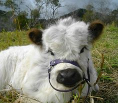 23 Mini Cow Pictures you've never seen before - meowlogy Cute Baby Cow, Baby Cows, Cute Cows, Baby Elephants, Fluffy Cows, Fluffy Animals, Cute Little Animals, Cute Funny Animals, Cute Animal Photos