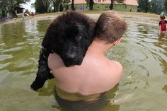 Funny Newfie in the lake. Newfoundland dog, puppy, 7 months old.