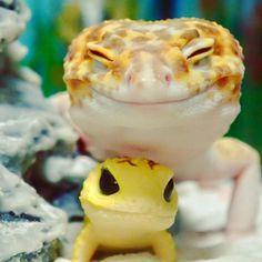Ce gecko, nommé Kohaku, est probablement l'animal le plus heureux de la terre… Et pour cause, il suffit de voir sa bouille ravie pour se sentir à notre tour irradié d'un bonheur contagieux! Mais qu'est-ce qui peut b...