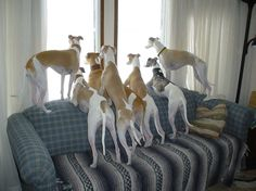 14 Reasons Whippets Are The Worst Indoor Dog Breeds Of All Time I Love Dogs, Cute Dogs, Dog Day Afternoon, Lurcher, Whippets, My Animal, Mans Best Friend, Beautiful Creatures, Funny Dogs