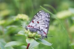butterflies rare - Google Search