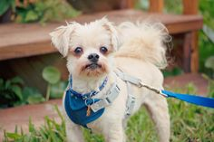 Shih Tzus & Furbabies has many small breeds available for adoption. From chihuahuas to Maltese poodles to Shih Tzus to Yorkies, and many more. Please browse our available dogs to view photos and read bios. Maltese Poodle, Yorkie, Chihuahua, Pet Finder, Shih Tzus, Small Breed, Animal Rescue, Fur Babies, Dogs
