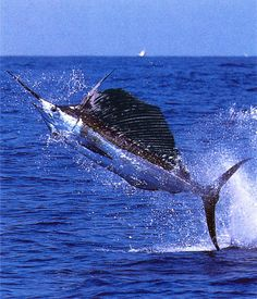 Swordfish (Xiphias gladius; from Greek sword, and Latin gladius: sword), also known as broadbill in some countries, are large, highly migratory, predatory fish characterized by a long, flat bill. They are a popular sport fish of the billfish category, though elusive. Swordfish are elongated, round-bodied, and lose all teeth and scales by adulthood