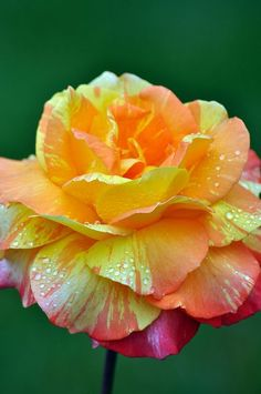 Hybrid Tea Rose  This is one of the prettiest roses I've seen. would love to see one in my gardens.:
