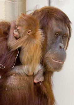 Baby Orangutan with Mom