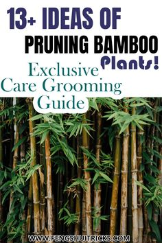 The best time of trimming and pruning bamboo plants is in the summer seasons. Many people start trimming in the rainy season, which is not an ideal time. To begin with, pruning bamboo, use sharp, sterile pruning shears, cut back any shoots that are excessively long to a length of 1 or 2 inches the tail. Bamboo In Pots, Bamboo Plants, Feng Shui Lucky Bamboo, Clumping Bamboo, Rainy Season, Pruning Shears, Seasons, Tips, People