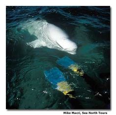 snorkelling with beluga whales in churchill!!
