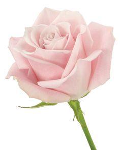 Rose Pk Sweet Eskimo | Delaware Valley Wholesale Florist