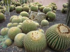 """mother-in-law"" cacti. Or golden barrel cactus. Family cactaceae"