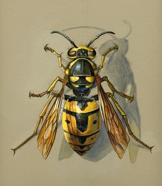 Examining the Hornet (copyright Kathy Hodge) Animal Sketches, Animal Drawings, Art Sketches, Art Drawings, Tier Wolf, Pencil Drawing Inspiration, Bee Drawing, Bug Art, Beautiful Bugs