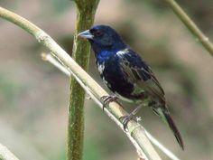 Tiziu (Volatinia jacarina) por Marco Marcos | Wiki Aves - A Enciclopédia das Aves do Brasil