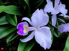 Orchids - Cattleya trianaei - Flickr - Photo Sharing!