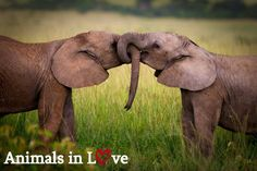 """Animals In Love: """"You are d-elephantly my favorite person!"""" Tag your favorite person! #inlove #tag #favoriteperson #partner #bestfriend #traveltogether #funtimes #explore #vacation #live #havefun #vacationtime #wecangetyouthere #timelesstravels"""