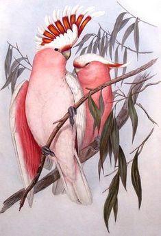 Prints & Graphics - John Gould - Page 5 - Australian Art Auction Records Vintage Bird Illustration, Illustration Art, Old Illustrations, Pink Cockatoo, Sibylla Merian, John Gould, Australian Birds, Vintage Birds, Vintage Decor