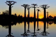 http://travel.nationalgeographic.com/photo-contest-2015/gallery/week-12-all/13  Sunset at The Avenue of the Baobabs  Photo and caption by Talia Friedman