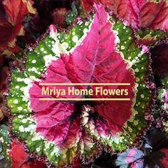 Begonia Paso Doble Begonia, Home Flowers, Garden, Plants, Doubles Facts, Garten, Lawn And Garden, Gardens, Gardening