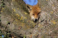 https://flic.kr/p/ZJQ5Zw | Renard roux - Vulpes vulpes | Chablais, Plaine du Rhône VD