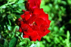 red rose 2015