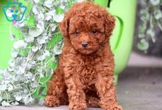 Toy Puppies For Sale, Toy Poodle Puppies, Newborn Puppies, Little Puppies, Baby Puppies, Toy Poodles For Sale, Bulldog Breeds, Puppy Breeds, Dogs Tumblr