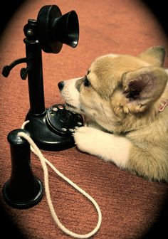 """""""Hello? Is this the party to whom I am speaking?"""" Follow ILoveCorgiDogs on Facebook: https://www.facebook.com/ilovecorgidogscom"""
