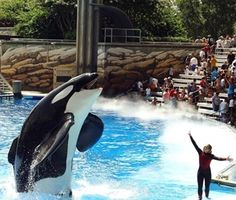 Tilikum, The world's largest Killer Whale in captivity. I feel so bad for him. SeaWorld, you are terrible. It's your fault Dawn Brancheau died. You knew Tilikum had already killed 2 other people, and yet you allowed trainers to interact with him anyway. Shame on you for making this beautiful animal a slave to entertainment.
