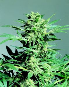 Shiva Skunk, a mix of Northern Lights #5 and Skunk #1.  One of the strongest Skunk hybrids in the world!  http://sensiseeds.com/cannabis-seeds/sensi-seeds/shiva-skunk