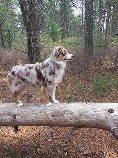 Everything About The Intelligent Australian Shepherd Puppies Health