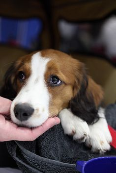 The Kooikerhondje or Kooiker Hound, is a small spaniel-type breed of dog of Dutch ancestry that was originally used as a working dog, particularly in duck hunting and tolling. Via: http://en.wikipedia.org/wiki/Kooikerhondje