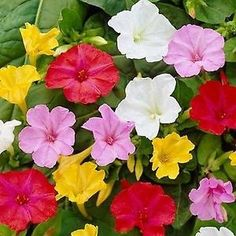 Annual Flowers 75ct Yellow Four O/'clock Seeds Non-Gmo Heirloom Flower Seeds