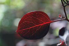 Eucalyptus Vintage Red