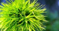 hrebíček turecký Herbs, Herb