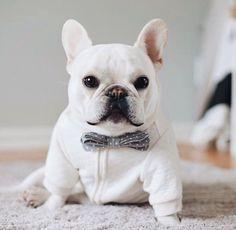 Theo Bonaparte, French Bulldog in a #pipolli #bowtie, #theobonaparte on Instagram
