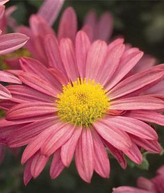 Garden Mum, Mammoth Daisy Coral.Very hardy and dense-mounded;no need to prune or deadhead. Coral lavender daisies add unusual tones in fall.