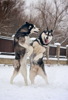 Siberian Huskies are one of the oldest existing dog breed, and are thought to be more than 3000 years old...