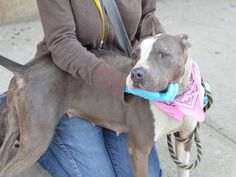 GONE 5-24-2015 --- Brooklyn Center BETTY  – A1033430    FEMALE, GRAY / WHITE, AM PIT BULL TER MIX, 2 yrs STRAY – STRAY WAIT, NO HOLD Reason STRAY Intake condition EXAM REQ Intake Date 04/16/2015