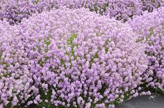 Buy lavender Lavandula angustifolia 'Rosea': Delivery by Crocus