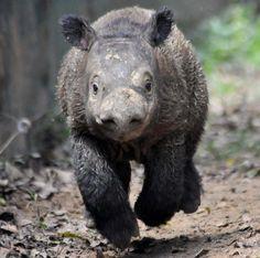Andatu the baby rhino #rhinoceros #rhino #topanimals