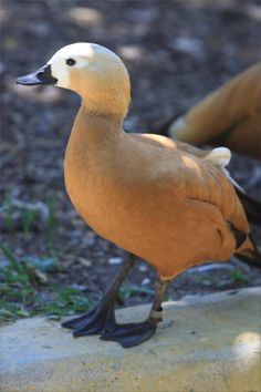 Duck - Animals at Taronga Zoo - Sydney, New South Wales, Australia