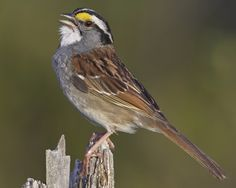 White-throated Sparrow | Bruant à gorge blanche