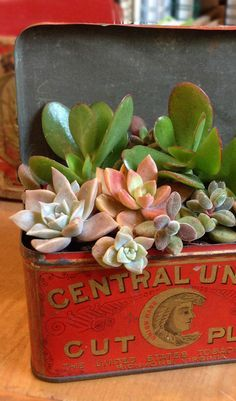 Did you know that succulent plants take well to unusual, non-plant containers? They do great in vintage tins and other unique items you can find and reuse. Check out this post from @catheholden about creative ways to display succulents.