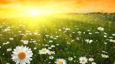Sun daisy flowers nature wallpaper