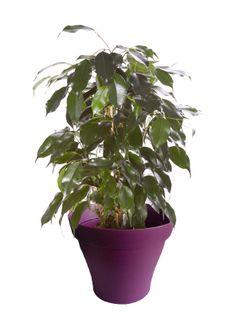 Petit ficus benjamina avec cache pot violet