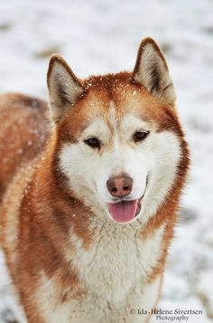 Beautiful red siberian husky!