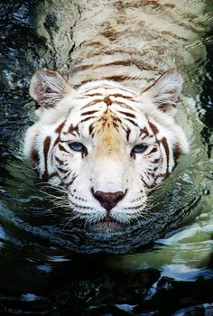 El Tigre de Bengala Blanco [ The Bengal White Tiger ] Nature Animals, Animals And Pets, Baby Animals, Cute Animals, Wild Animals, Pretty Animals, Wildlife Nature, Funny Animals, Beautiful Cats