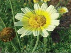 Shungiku Edible Chrysanthemum